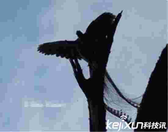 黑龙江拍到远古凤凰专家已经证实 真是黑凤凰?