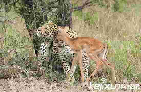 动物世界:黑斑羚与豹子上演哥俩好 最终难逃厄运