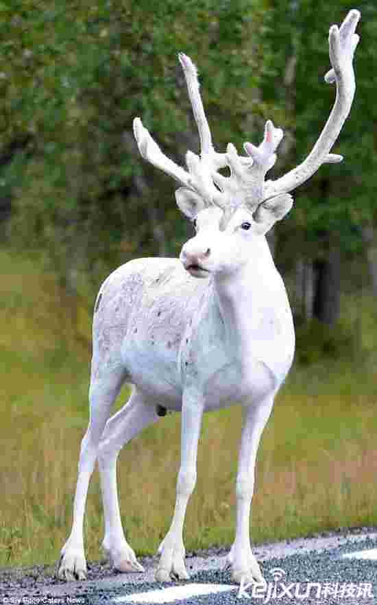 神兽现身!瑞典发现罕见纯白色驯鹿