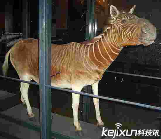科学家再育种:灭绝100多年的斑驴重回地球