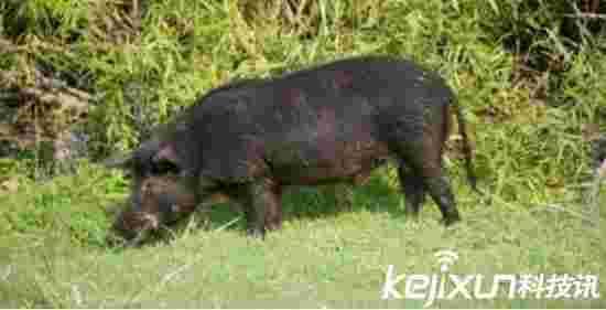 男子野外猎杀野猪 肚中的东西让人害怕