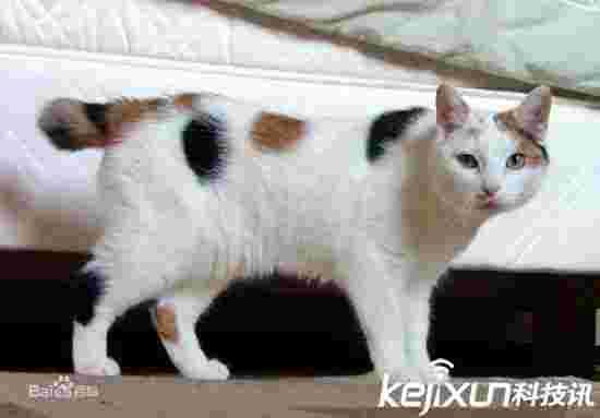 世界最贵十大名猫 布偶猫不上榜