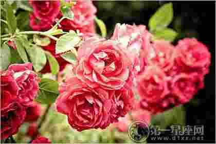 不同颜色的蔷薇花语【图文细说】