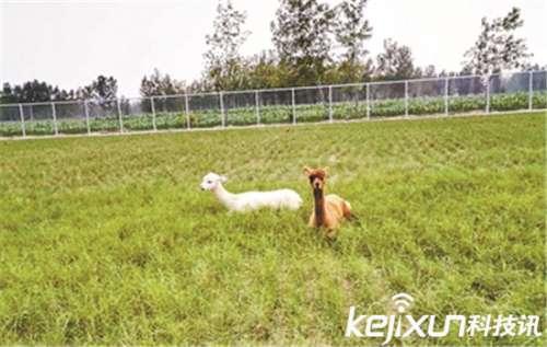 学校花百万建动物园养羊驼