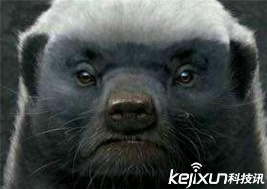 平头哥蜜獾为什么是非洲霸主?因为平头哥蜜獾够偏执