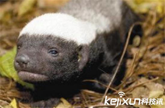 平头哥是什么梗?为什么蜜獾被叫做平头哥?