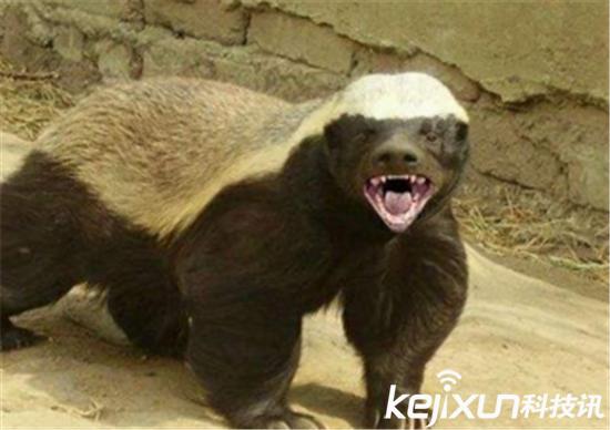 非洲平头哥蜜獾系食物链最强王者 吃毒蛇如吃辣条