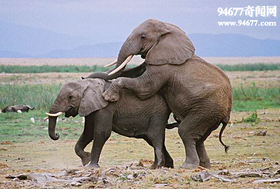 动物交配图,动物世界性行为全过程直播