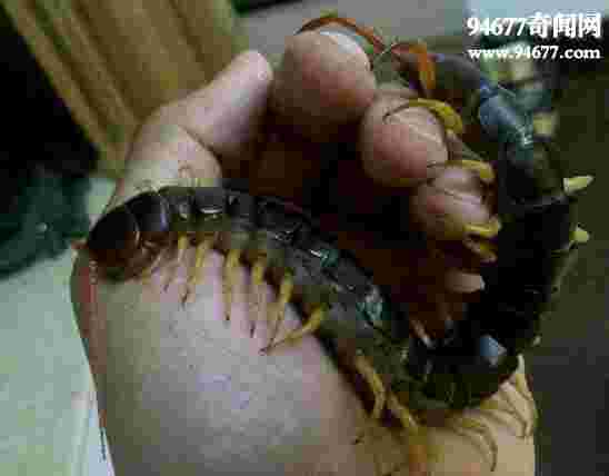 中国最大的蜈蚣,中国红巨龙蜈蚣(体长20cm)