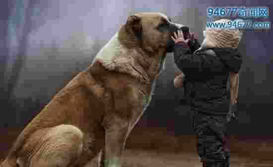 世界上体型最大的四种狗,马士提夫獒犬能当人坐骑