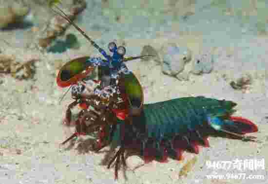 世界上最凶残的虾类,螳螂虾(能击断人手指)