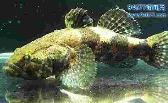 镜子鱼是鲤鱼的一种,晒干后可以当镜子使用