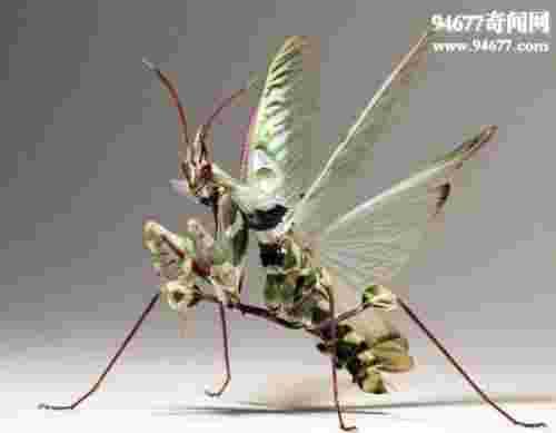 螳螂之王魔花螳螂,模拟花朵的妖艳杀手(羽化视频)