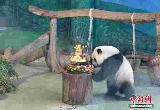 7月6日,是大陆赠台大熊猫团团、圆圆的长女圆仔4岁生日。台北市立动物园为它准备了生日蛋糕。 中新社记者 路梅 摄