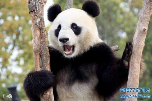 大熊猫居然起源于欧洲这个考古发现令中国人不服