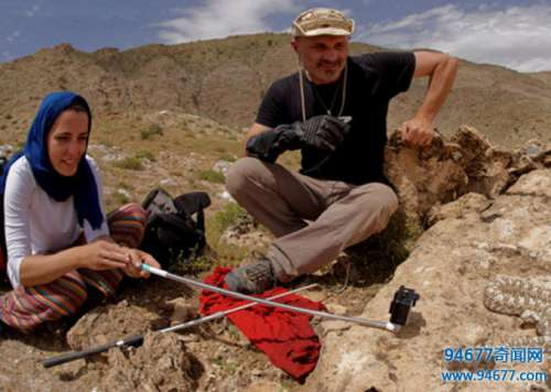 生物学家在野外发现古怪的蛇,特别是它的蛇尾,让人汗毛直竖