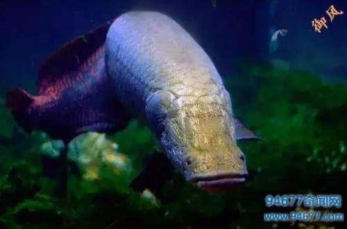 动物世界: 世界最大的淡水鱼之一, 无脑肉多, 需要国家立法才能保护它