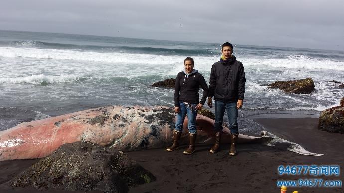 海滩惊奇发现一条白色尸体,调查过后竟是未知物种鲸鱼