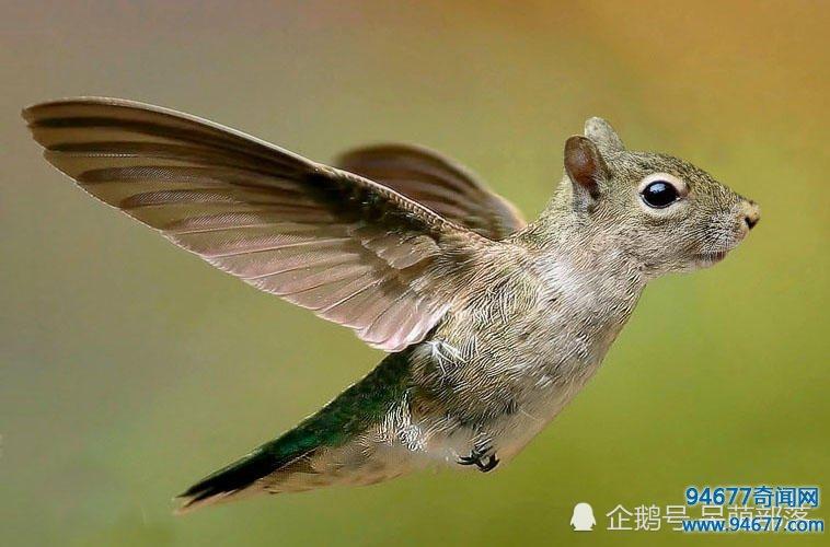 """这样的""""蜂鸟""""你见过吗"""