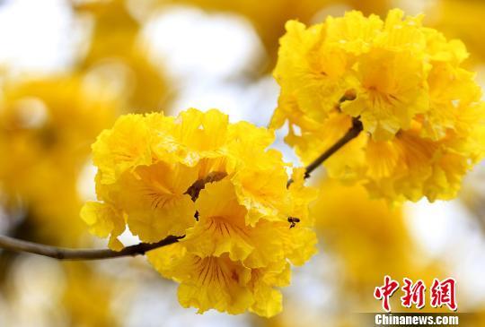 广西钦州满城花香醉游人(组图)