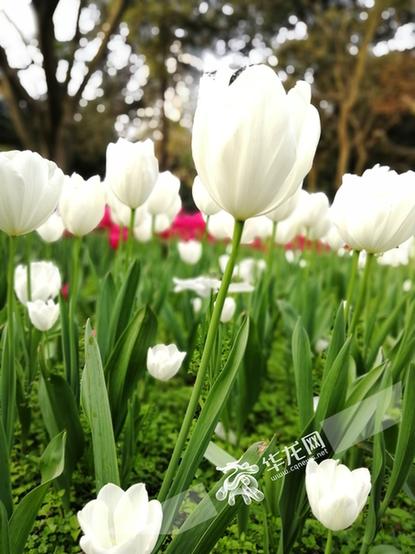 山城处处繁花盛开 市民周末踏春忙