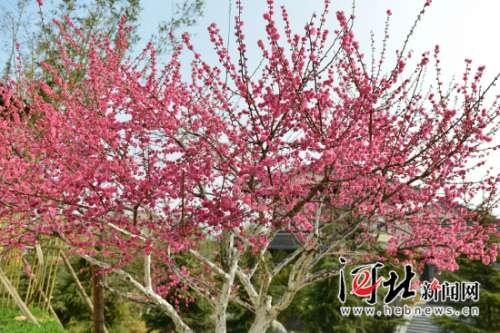 磁县:春风拂面梅花开