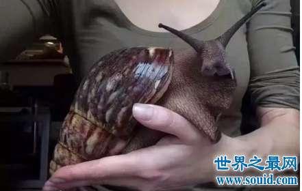 能给你做蜗牛原液美白面膜的非洲大蜗牛你养吗