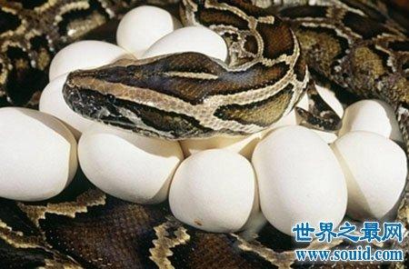 缅甸蟒蛇有多大 他们真的像电视里一样可以戏弄吗(www.souid.com)
