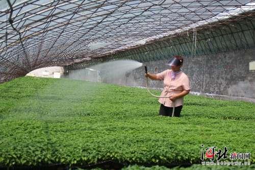 鸡泽县种植辣椒8万余亩 产业年产值达24.5亿元