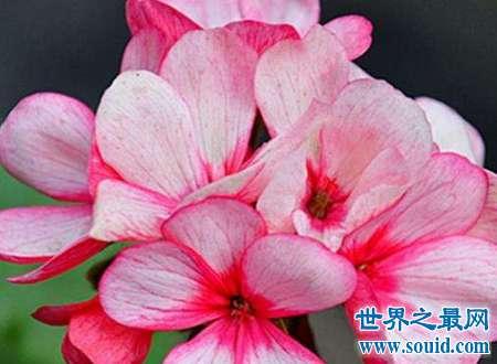 天竺葵有毒吗是很多人心中的疑惑这些看似美艳的花朵竟有如此秘密