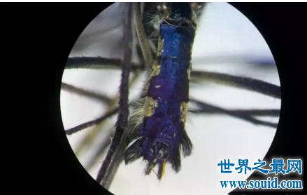 自然界的生存法则 华丽巨蚊捕食幼虫化蛹成蚊(www.souid.com)