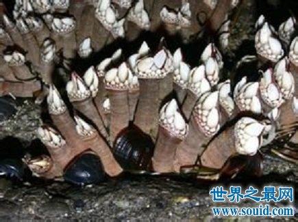 鹅颈藤壶 来自地狱的海鲜 味道让人疯狂(www.souid.com)