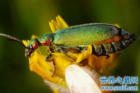 西班牙苍蝇到底是不是真的苍蝇传闻中所谓的催情功效是不是真的呢(www.souid.com)