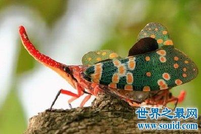 外表美丽却是害虫 龙眼鸡 让人又爱又恨(www.souid.com)