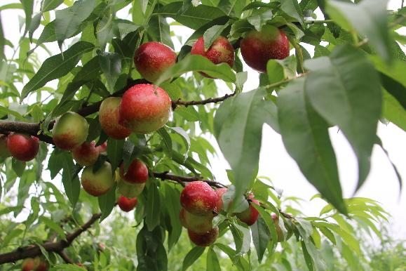 【乡村达人⑦】乡村能人:带动乡亲将荒山变果园 办樱桃节吸金900万元