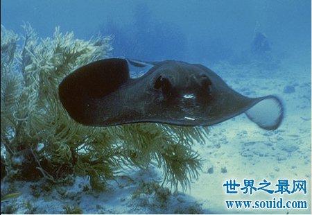 黄貂鱼是什么鱼 他生活在哪里(www.souid.com)
