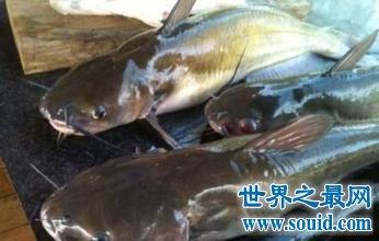 让美国人恐怖的蛇头鱼,在中国却夹着尾巴做鱼(www.souid.com)