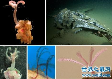 食骨蠕虫以柔弱身体钻透鱼骨,一个神奇的物种(www.souid.com)