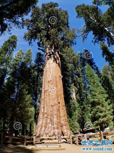 谢尔曼将军树你去过吗 都有什么传说呢(www.souid.com)
