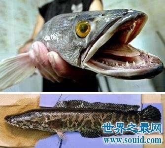 让美国人恐怖的蛇头鱼,在中国却夹着尾巴做鱼