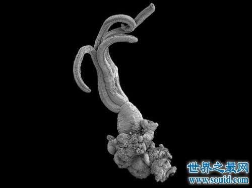 食骨蠕虫以柔弱身体钻透鱼骨,一个神奇的物种