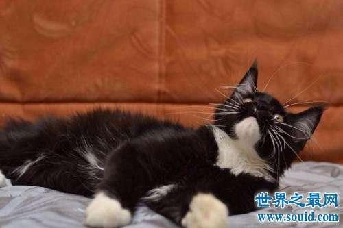世界上最大的猫,抱在怀中像老虎性格温柔