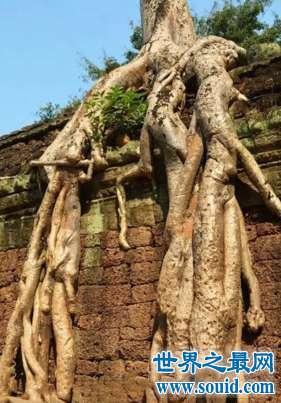 柬埔寨的榕树被命名为蛇树颇有异曲同工之妙