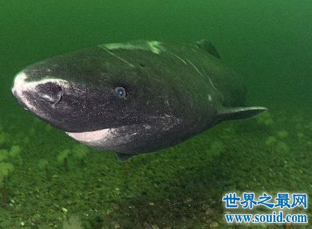 格陵兰鲨如此美的名字却长得非常丑陋(www.souid.com)