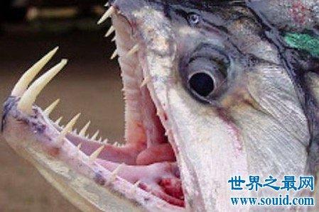 吸血鱼看次身材娇小但是恐怖程度令人发指但它们居然怕这个(www.souid.com)