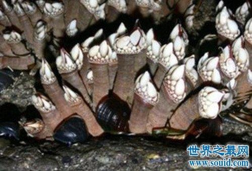 熟悉又陌生的藤壶 来自地狱的美食鹅颈藤壶(www.souid.com)