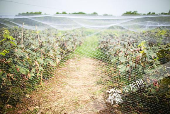 【百姓故事】后续:爱心企业争相施援手 脑瘫男孩的葡萄不用烂在枝头了