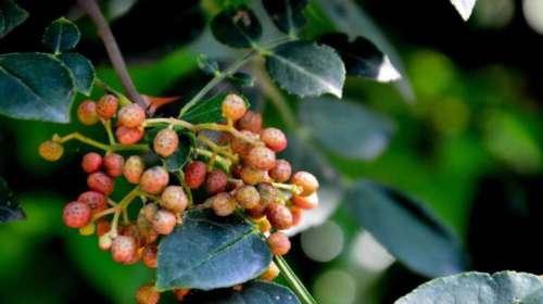 涉县一村民收购的3000多斤花椒在眼皮底下被偷 损失达30万