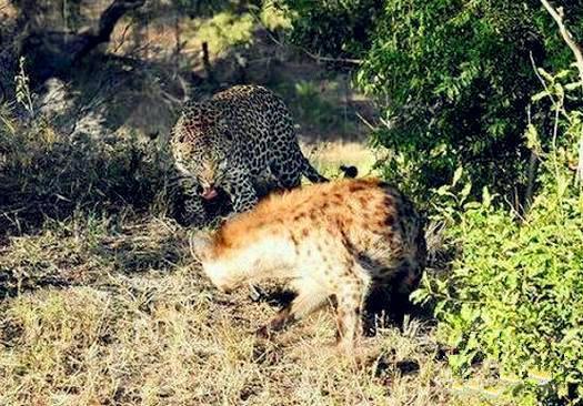 竟敢侮辱我的智商,这就是下场!花豹鬣狗狭路相逢,遭攻击不还手