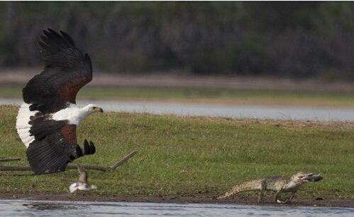 小鳄鱼捕猎失败,反老鹰偷袭,没想到下一秒就变..